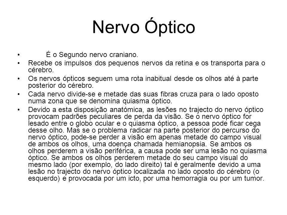 Nervo Óptico É o Segundo nervo craniano. Recebe os impulsos dos pequenos nervos da retina e os transporta para o cérebro. Os nervos ópticos seguem uma