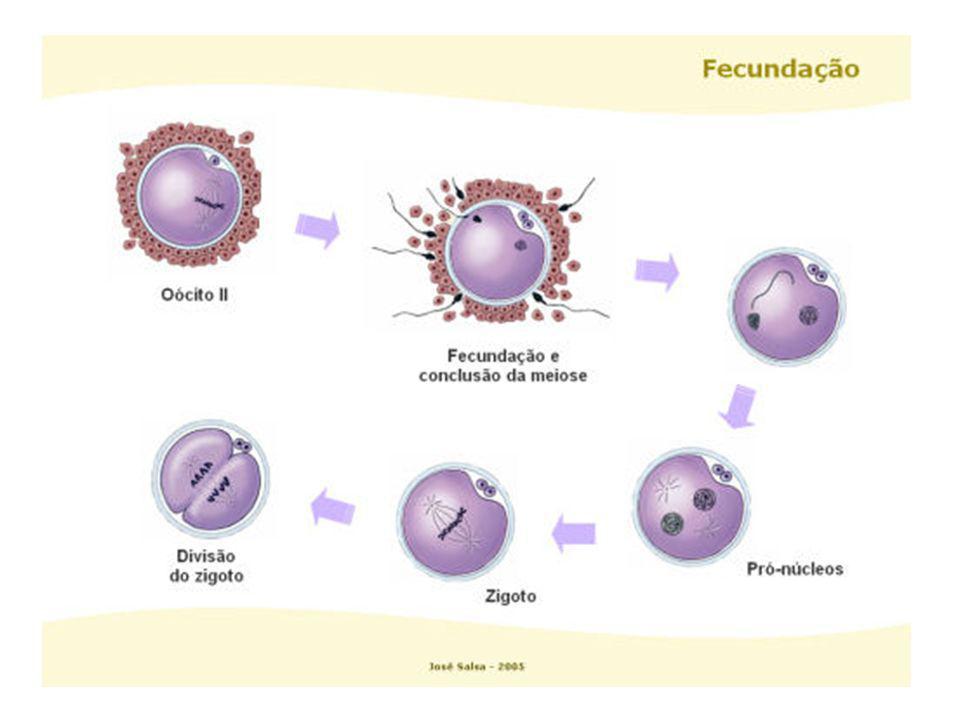 A - óvulo C – início da 1ª clivagem B – óvulo fecundado D – 2 células E e F – 4 células G – 8 células H – mórula I - blástula