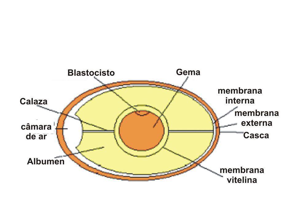 Óvulo Centrolécito Os óvulos centrolécitos concentram uma parte do seu vitelo no centro do citoplasma, ao redor do núcleo e a outra parte na periferia citoplasmática.