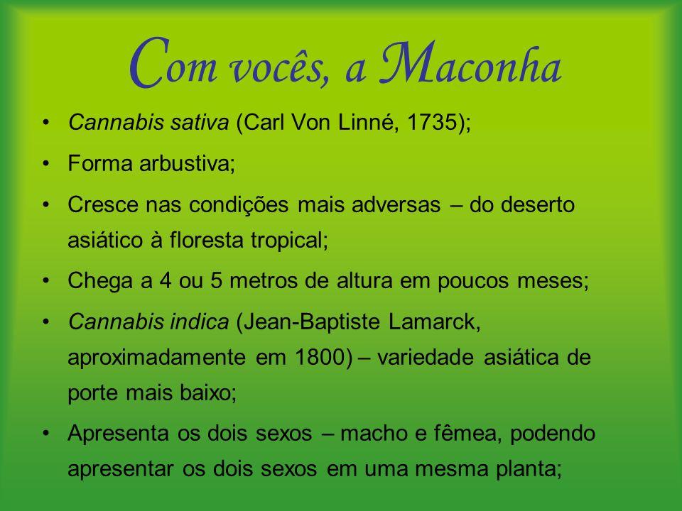 C om vocês, a M aconha Cannabis sativa (Carl Von Linné, 1735); Forma arbustiva; Cresce nas condições mais adversas – do deserto asiático à floresta tr