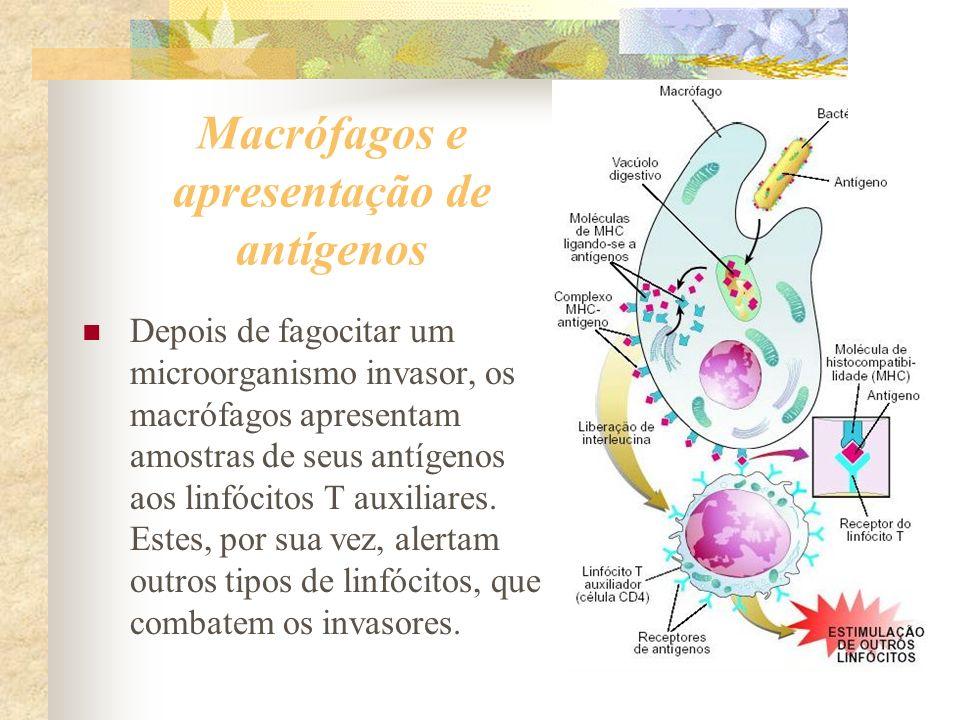 Macrófagos e apresentação de antígenos Depois de fagocitar um microorganismo invasor, os macrófagos apresentam amostras de seus antígenos aos linfócit