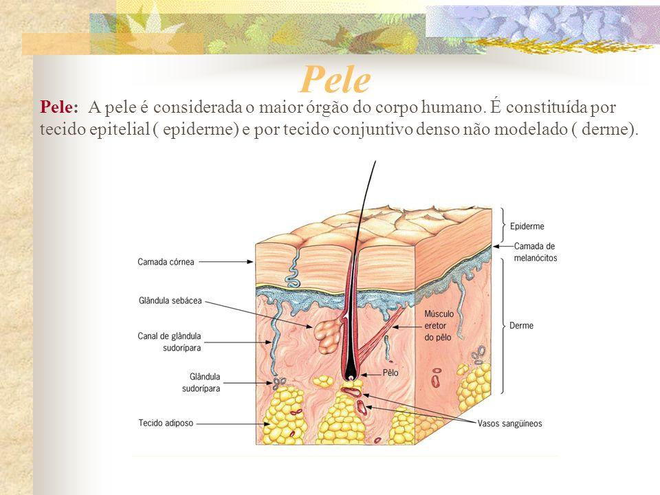 Pele Pele: A pele é considerada o maior órgão do corpo humano. É constituída por tecido epitelial ( epiderme) e por tecido conjuntivo denso não modela