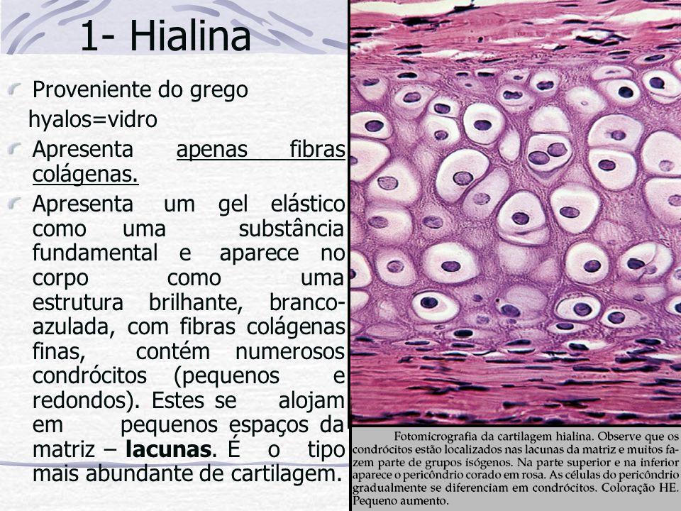 1- Hialina Proveniente do grego hyalos=vidro Apresenta apenas fibras colágenas. Apresenta um gel elástico como uma substância fundamental e aparece no