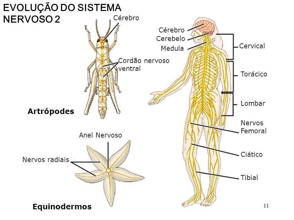 EVOLUÇÃO DO SISTEMA NERVOSO S.N.Central Anelídeos Platelmintos Moluscos S.N. difuso Cnidários gânglios periféricos Cordão nervoso ventral gânglios cer