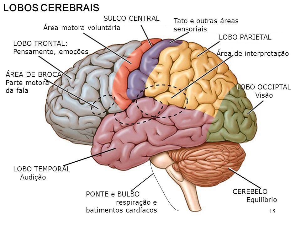 DESENVOLVIMENTO DO CÉREBRO HUMANO PROSENCÉFALO DiencéfaloTelencéfalo MesencéfaloRombencéfalo Medula Cérebro Tálamo Hipotálamo Hipófise Ponte Bulbo Cer