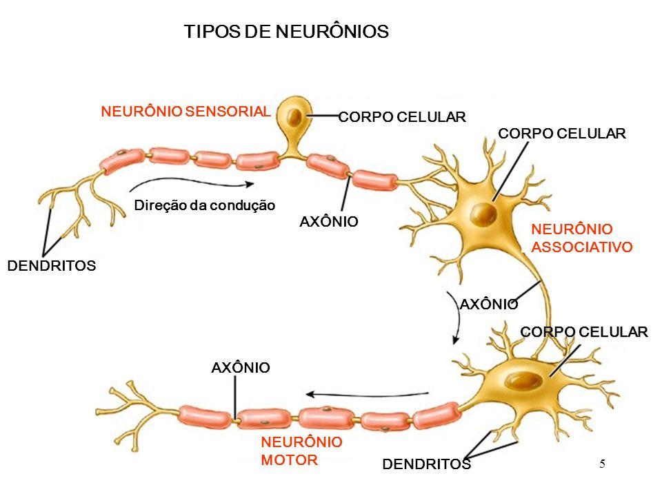 ESTRUTURA BÁSICA DO NEURÔNIO CORPO CELULAR Núcleo DENDRITOS AXÔNIO Bainha de mielina Célula de Schwann Axônio Bainha de mielina Nódulo de Ranvier 4