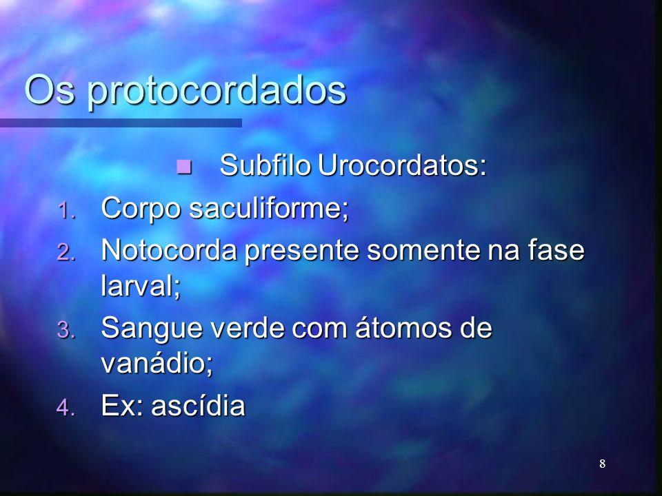 Os protocordados Subfilo Urocordatos: Subfilo Urocordatos: 1. Corpo saculiforme; 2. Notocorda presente somente na fase larval; 3. Sangue verde com áto