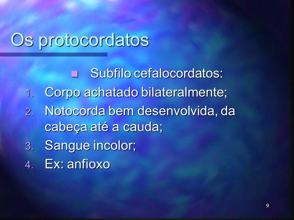 Os protocordatos Subfilo cefalocordatos: Subfilo cefalocordatos: 1. Corpo achatado bilateralmente; 2. Notocorda bem desenvolvida, da cabeça até a caud