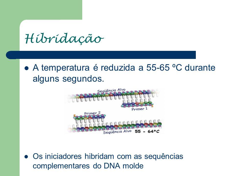 Hibridação A temperatura é reduzida a 55-65 ºC durante alguns segundos. Os iniciadores hibridam com as sequências complementares do DNA molde