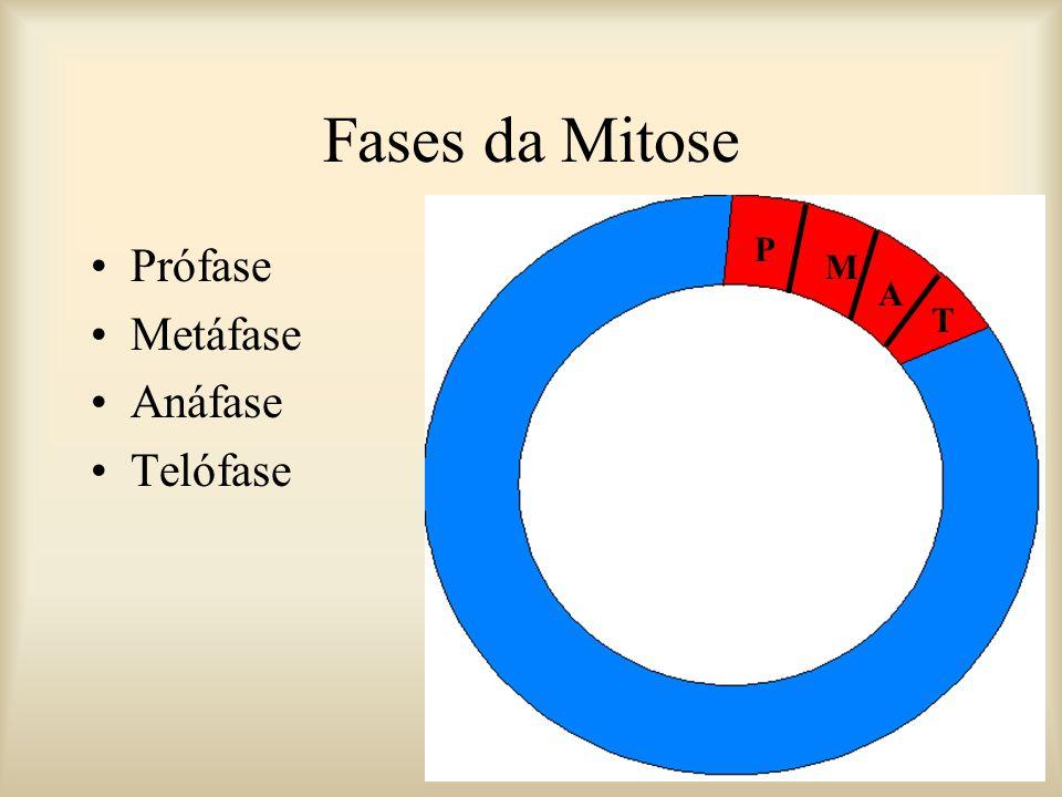 Fases da Mitose Prófase Metáfase Anáfase Telófase P M A T