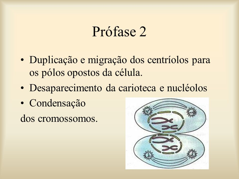 Prófase 2 Duplicação e migração dos centríolos para os pólos opostos da célula. Desaparecimento da carioteca e nucléolos Condensação dos cromossomos.