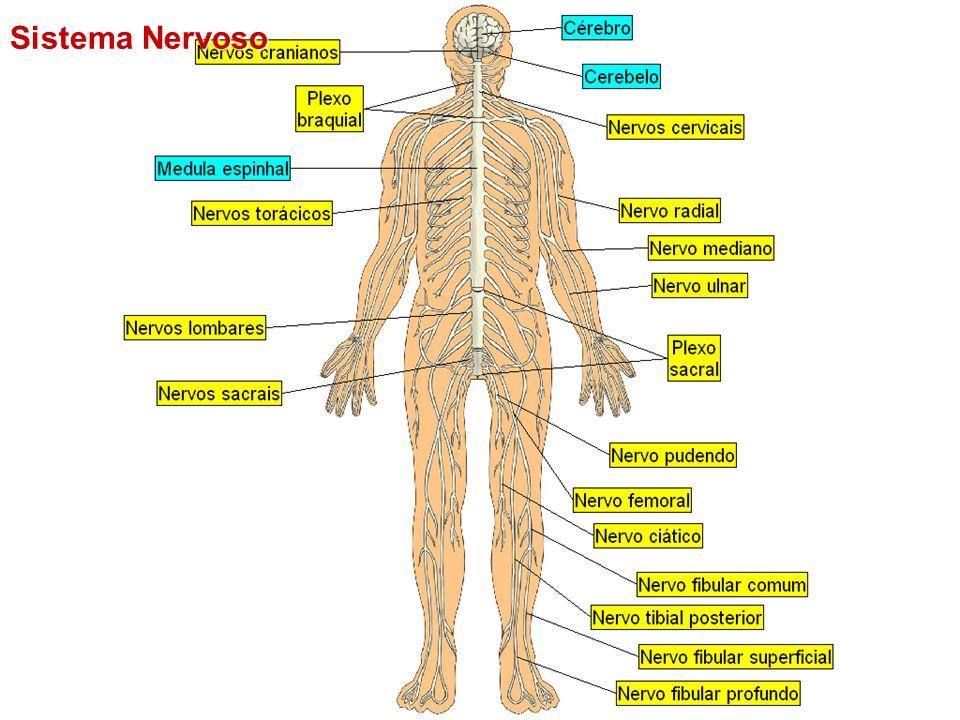 Sistema Nervoso Central Diencéfalo