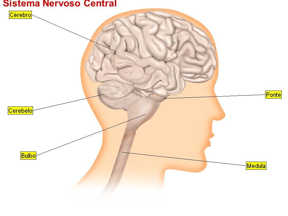 Sistema Nervoso (nervos e gânglios)