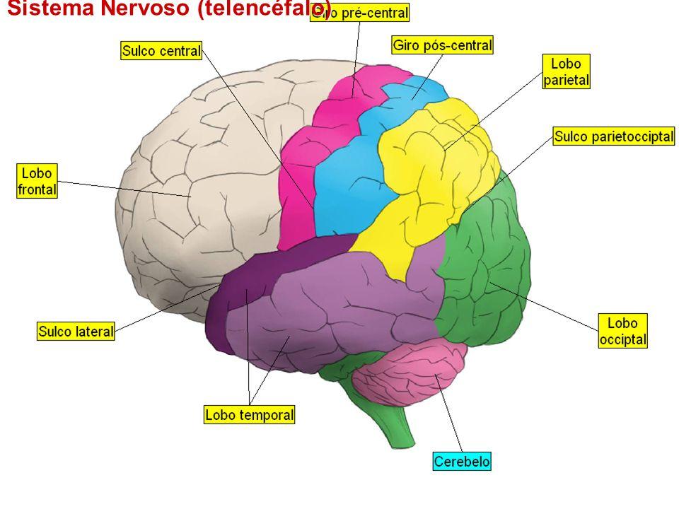 Sistema Nervoso (encéfalo)