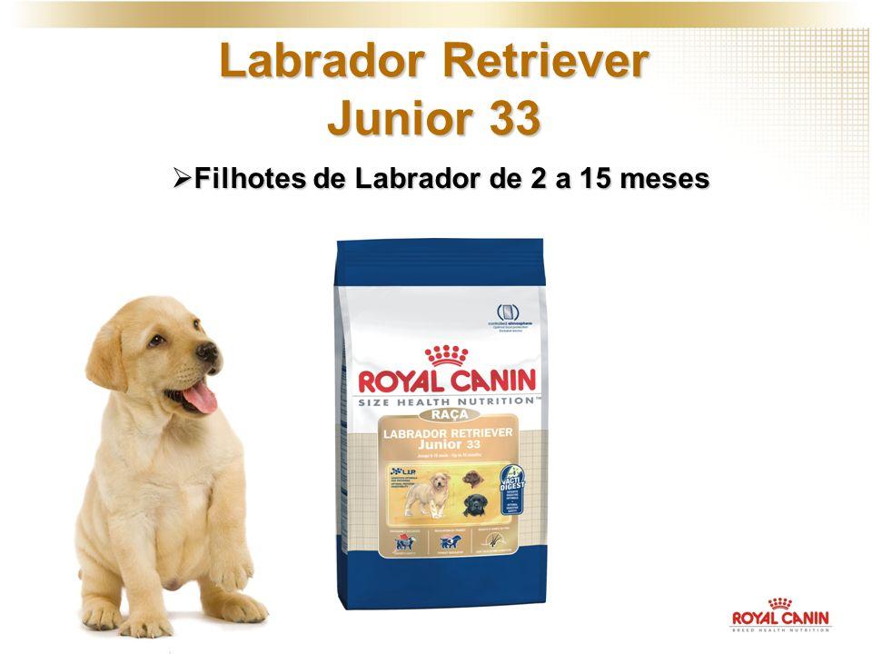 Labrador Retriever Junior 33 Filhotes de Labrador de 2 a 15 meses Filhotes de Labrador de 2 a 15 meses