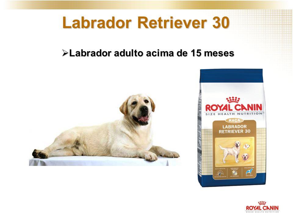 Labrador Retriever 30 Labrador adulto acima de 15 meses Labrador adulto acima de 15 meses
