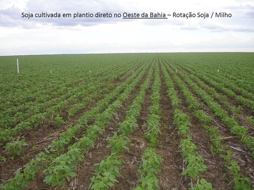 Soja cultivada em plantio direto no Oeste da Bahia – Rotação Soja / Milho
