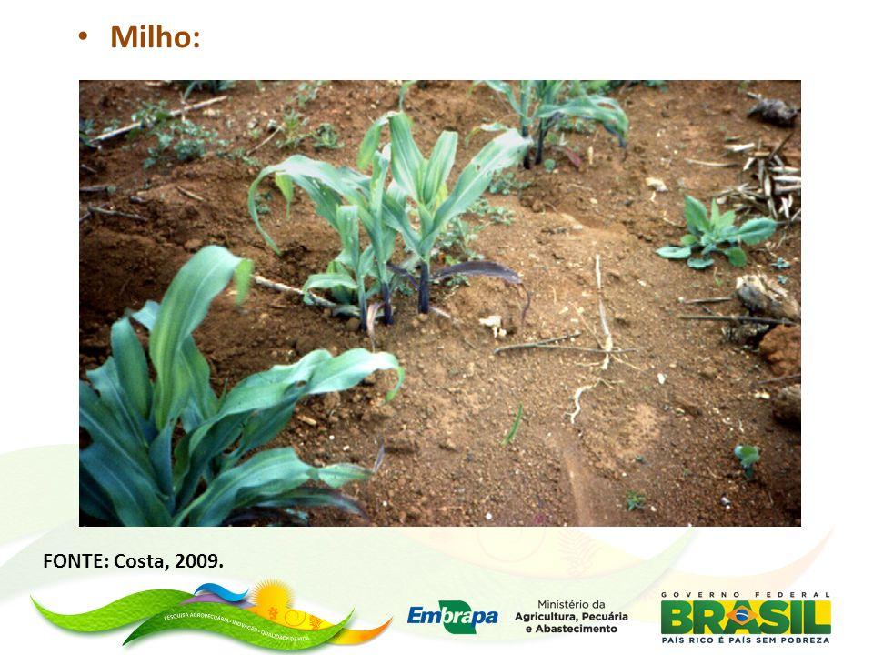 Parcelas de milho com e sem fósforo - Foto: Divulgação / Embrapa Cerrados www.cnpc.embrapa.br (D.