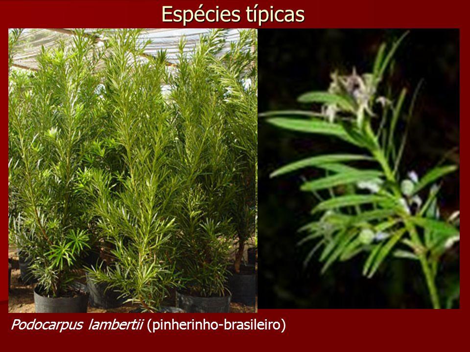 Espécies típicas Podocarpus lambertii (pinherinho-brasileiro)
