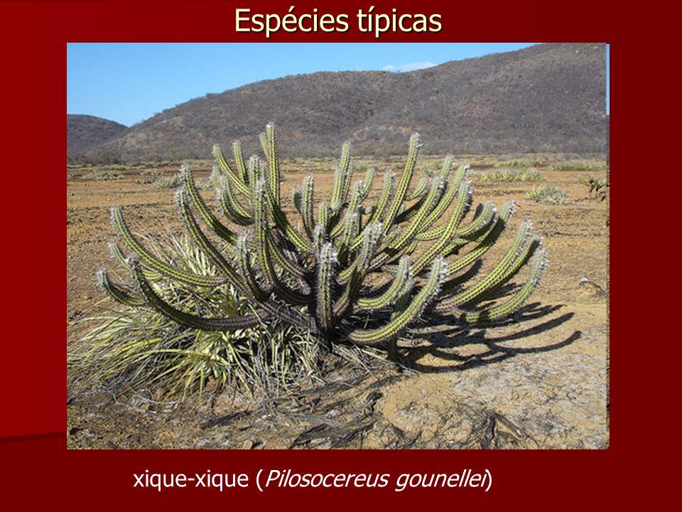 Espécies típicas xique-xique (Pilosocereus gounellei)