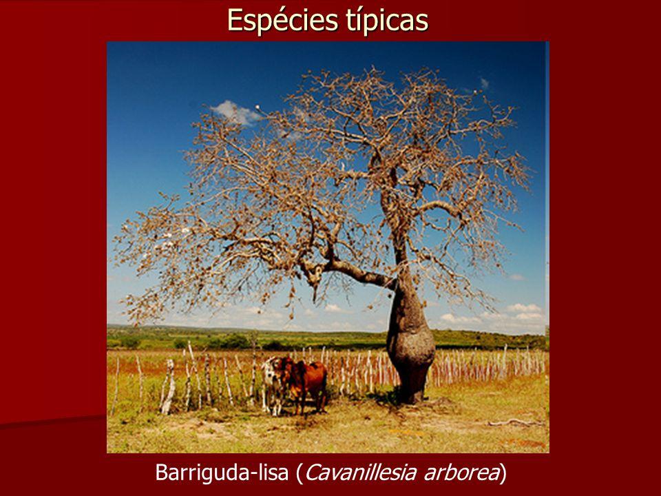 Espécies típicas Barriguda-lisa (Cavanillesia arborea)