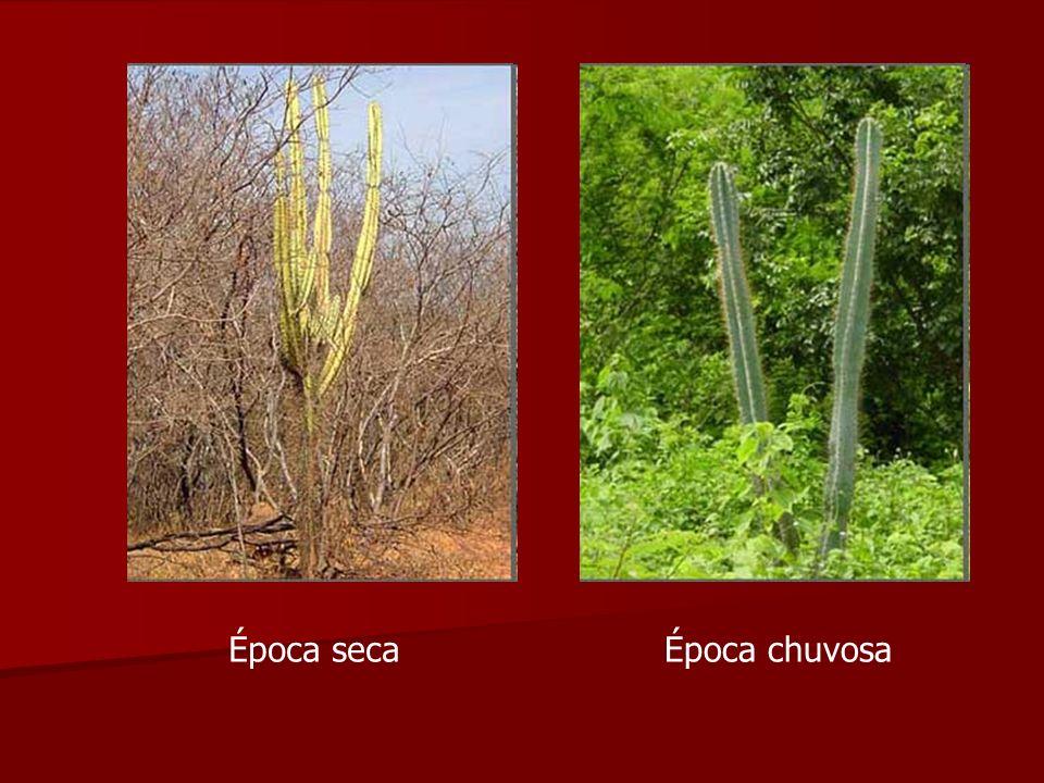 Caatinga O clima é semi-árido, com temperaturas médias anuais compreendidas entre 27ºC e 29ºC e com médias pluviométricas inferiores aos 800 mm.