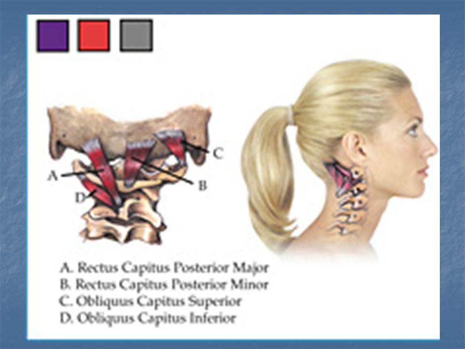 Músculos subocciptais Ações do conjunto: São extensores da cabeça e alguns são rotadores, mas o que parece, eles funcionam principalmente como músculos posturais.