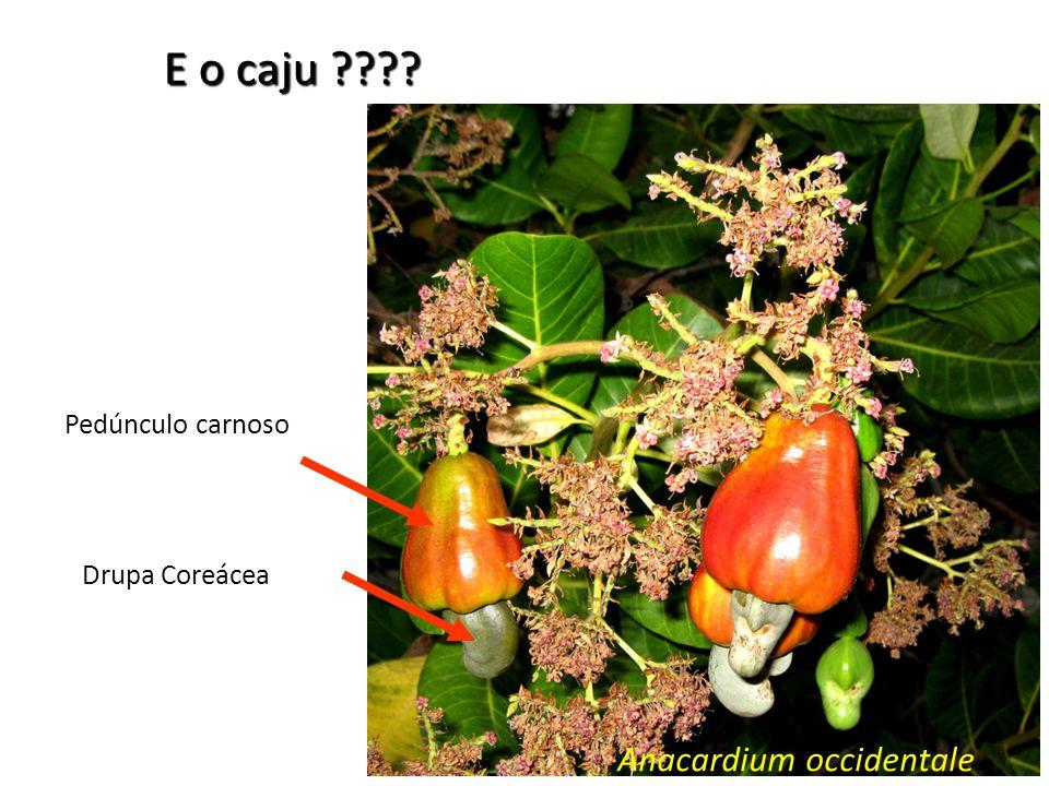 Anacardium occidentale Drupa Coreácea Pedúnculo carnoso E o caju ????