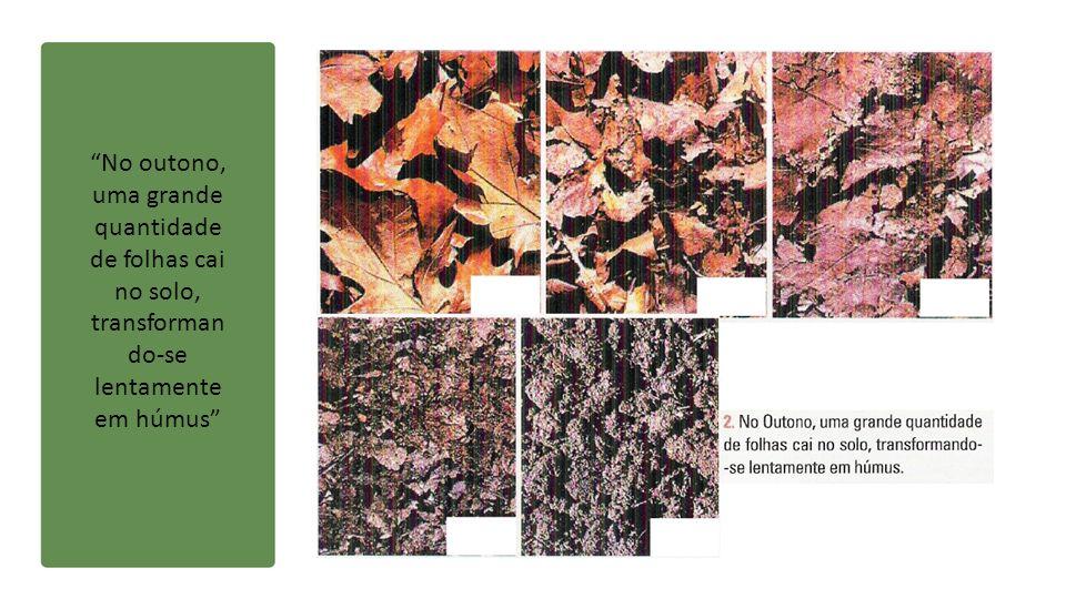 No outono, uma grande quantidade de folhas cai no solo, transforman do-se lentamente em húmus
