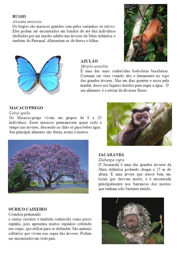 MACACO PREGO Cebus apella Os Macacos-prego vivem em grupos de 8 a 20 indivíduos. Esses macacos permanecem quase todo o tempo nas árvores, descendo ao