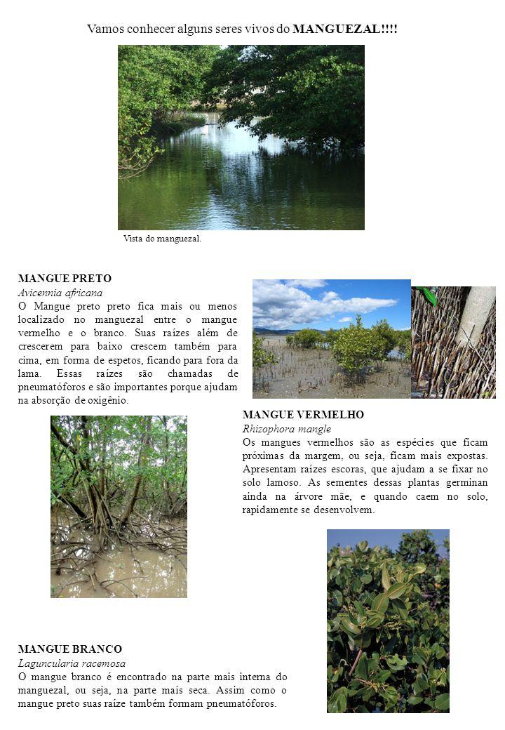 MANGUE VERMELHO Rhizophora mangle Os mangues vermelhos são as espécies que ficam próximas da margem, ou seja, ficam mais expostas. Apresentam raízes e