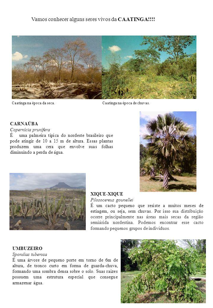 CARNAÚBA Copernícia prunífera É uma palmeira típica do nordeste brasileiro que pode atingir de 10 a 15 m de altura. Essas plantas produzem uma cera qu