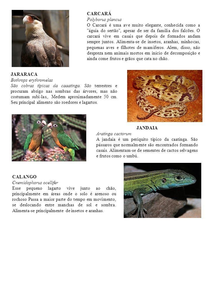 JARARACA Bothrops erythromelas São cobras típicas da caaatinga. São terrestres e procuram abrigo nas sombras das árvores, mas não costumam subi-las,.