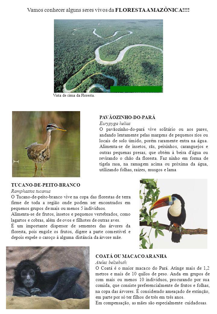 PAVÃOZINHO-DO-PARÁ Eurypyga helias O pavãozinho-do-pará vive solitário ou aos pares, andando lentamente pelas margens de pequenos rios ou locais de so