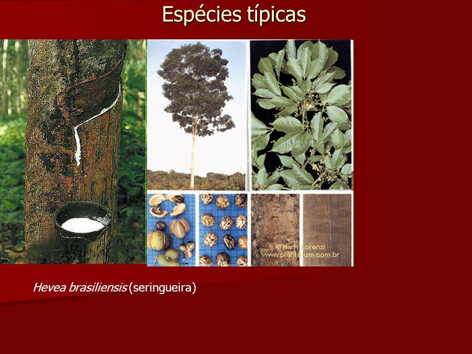 Espécies típicas Hevea brasiliensis (seringueira)