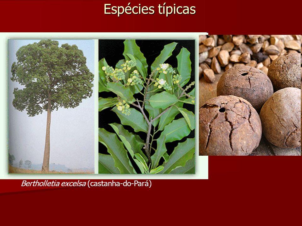 Espécies típicas Bertholletia excelsa (castanha-do-Pará)