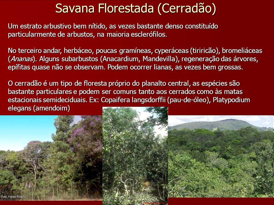 Savana Florestada (Cerradão) Um estrato arbustivo bem nítido, as vezes bastante denso constituído particularmente de arbustos, na maioria esclerófilos