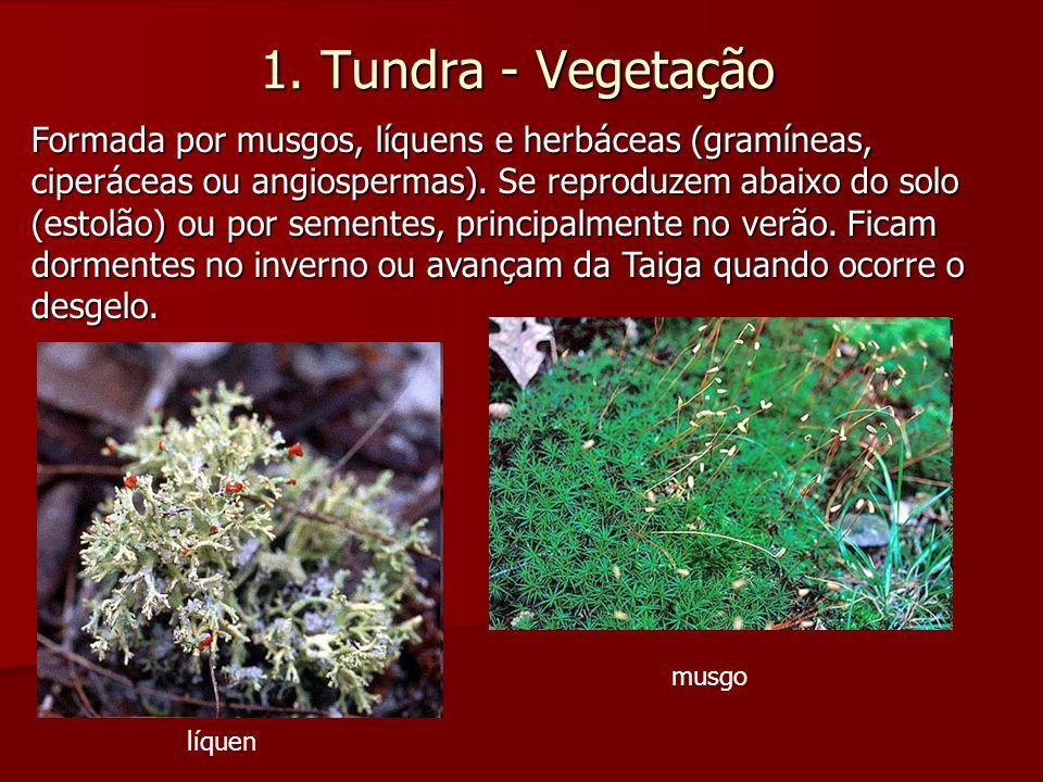 1. Tundra - Vegetação Formada por musgos, líquens e herbáceas (gramíneas, ciperáceas ou angiospermas). Se reproduzem abaixo do solo (estolão) ou por s