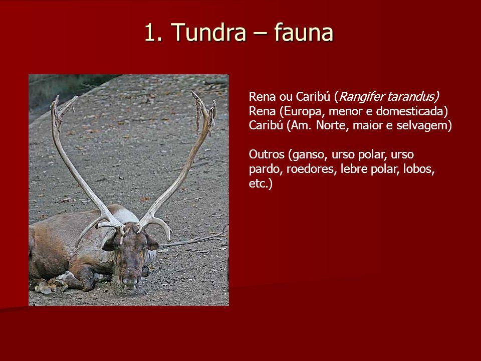 1. Tundra – fauna Rena ou Caribú (Rangifer tarandus) Rena (Europa, menor e domesticada) Caribú (Am. Norte, maior e selvagem) Outros (ganso, urso polar