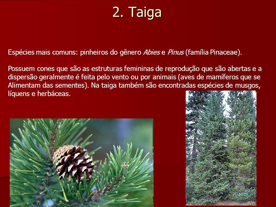 2. Taiga Espécies mais comuns: pinheiros do gênero Abies e Pinus (família Pinaceae). Possuem cones que são as estruturas femininas de reprodução que s