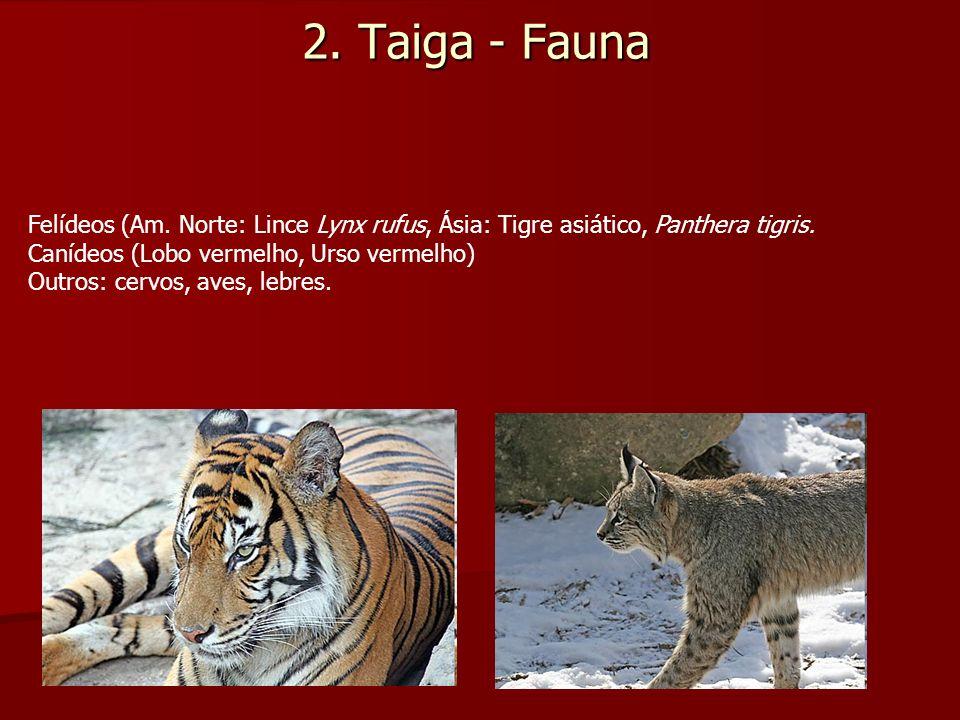 2. Taiga - Fauna Felídeos (Am. Norte: Lince Lynx rufus, Ásia: Tigre asiático, Panthera tigris. Canídeos (Lobo vermelho, Urso vermelho) Outros: cervos,