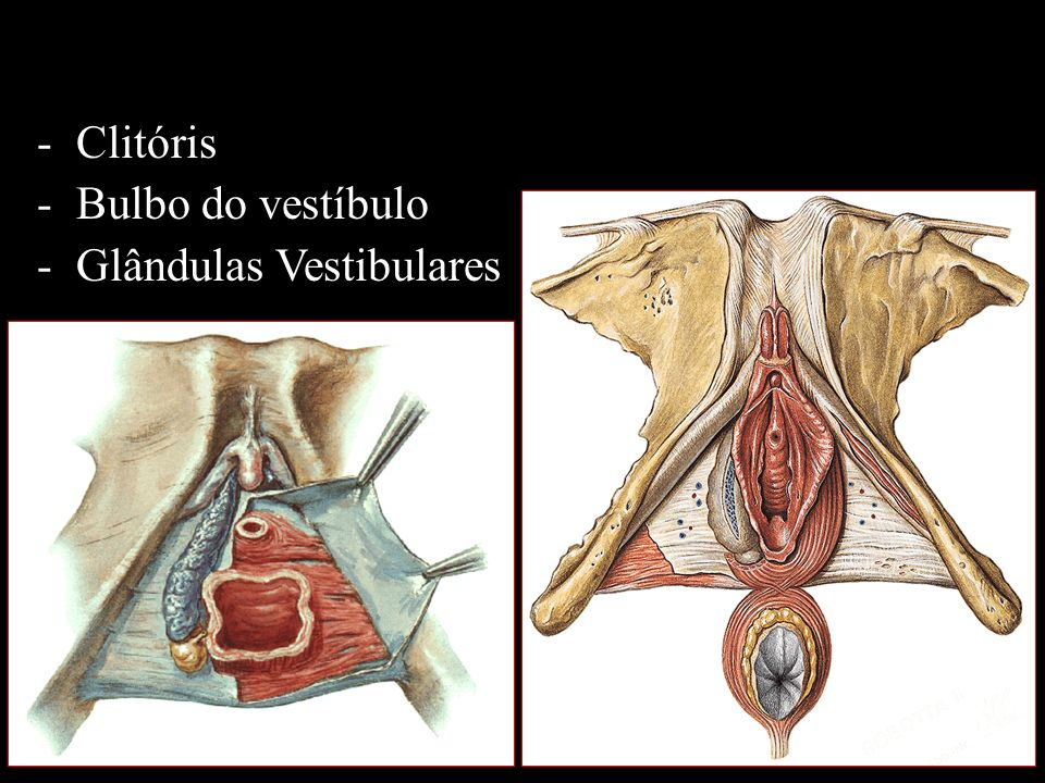 -Clitóris -Bulbo do vestíbulo -Glândulas Vestibulares