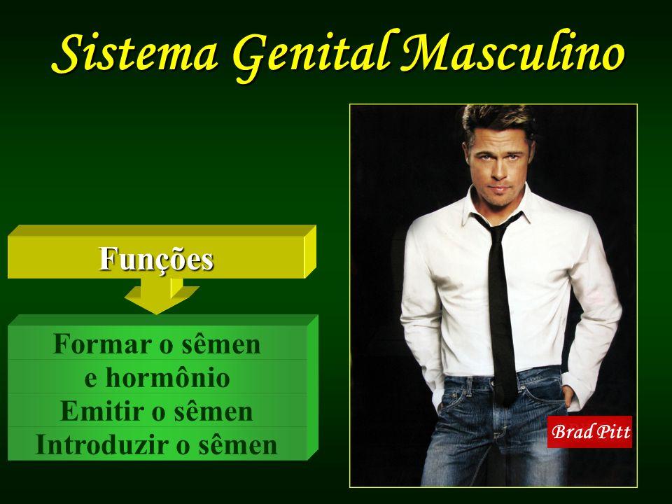 Sistema Genital Masculino Brad Pitt Introduzir o sêmen Emitir o sêmen e hormônio Formar o sêmen Funções