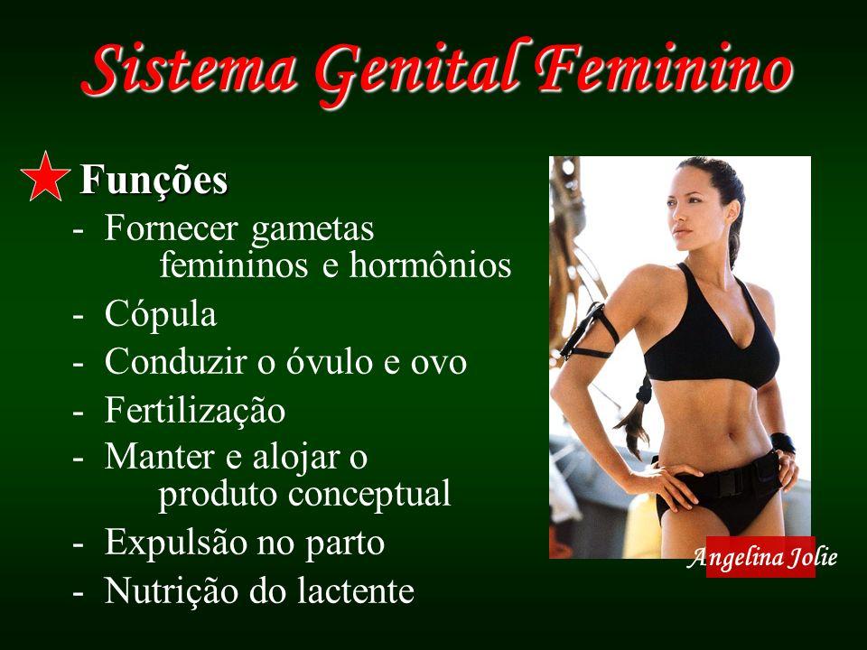 Sistema Genital Feminino Funções -Fornecer gametas femininos e hormônios -Cópula -Conduzir o óvulo e ovo -Fertilização -Manter e alojar o produto conc
