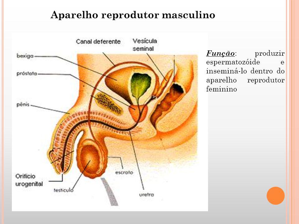 Aparelho reprodutor masculino Função : produzir espermatozóide e inseminá-lo dentro do aparelho reprodutor feminino
