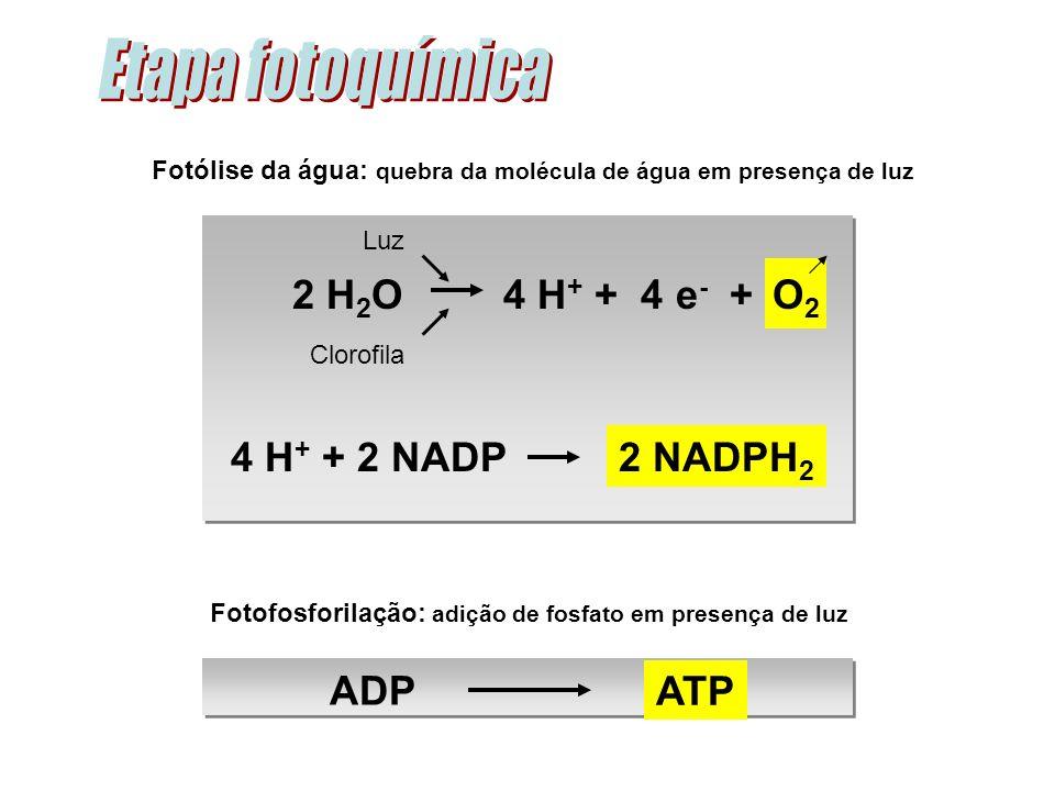 Fotólise da água: quebra da molécula de água em presença de luz Luz Clorofila Fotofosforilação: adição de fosfato em presença de luz ATP ADP O2O2 2 NADPH 2 4 H + + 4 e - +2 H 2 O 4 H + + 2 NADP