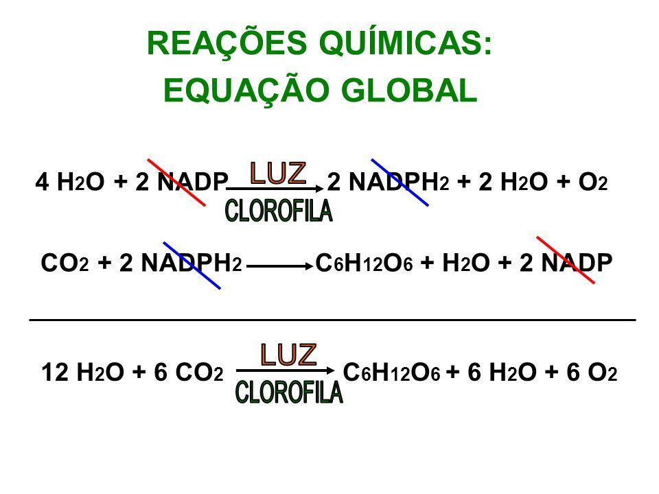 REAÇÕES QUÍMICAS: EQUAÇÃO GLOBAL 4 H 2 O + 2 NADP 2 NADPH 2 + 2 H 2 O + O 2 CO 2 + 2 NADPH 2 C 6 H 12 O 6 + H 2 O + 2 NADP 12 H 2 O + 6 CO 2 C 6 H 12 O 6 + 6 H 2 O + 6 O 2