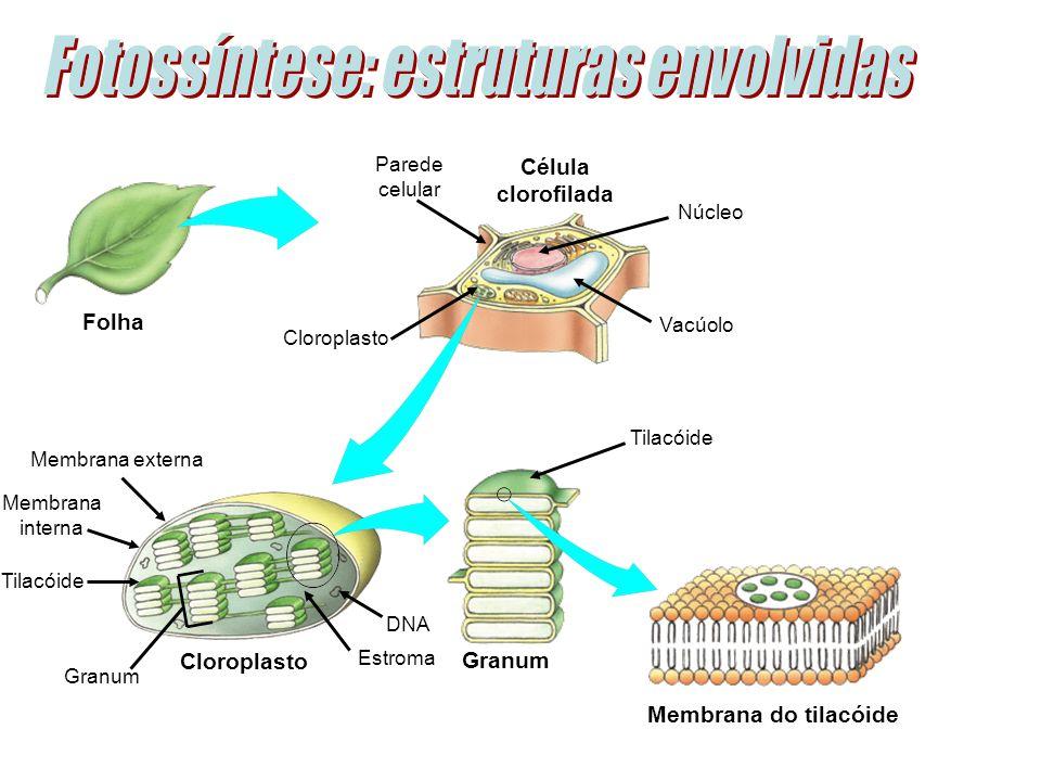 Célula clorofilada Membrana do tilacóide Folha Granum Parede celular Cloroplasto Membrana externa Membrana interna Tilacóide Granum Estroma DNA Núcleo Vacúolo Cloroplasto Tilacóide