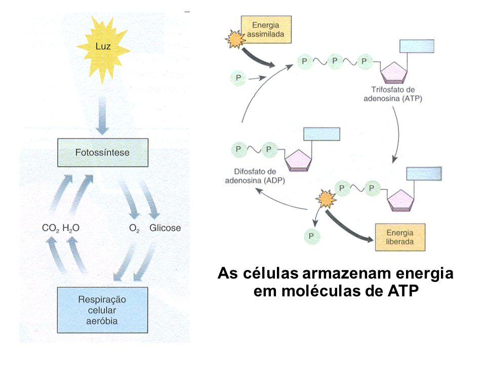 As células armazenam energia em moléculas de ATP