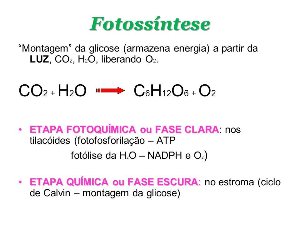 Fotossíntese Montagem da glicose (armazena energia) a partir da LUZ, CO 2, H 2 O, liberando O 2. CO 2 + H 2 O C 6 H 12 O 6 + O 2 ETAPA FOTOQUÍMICA ou